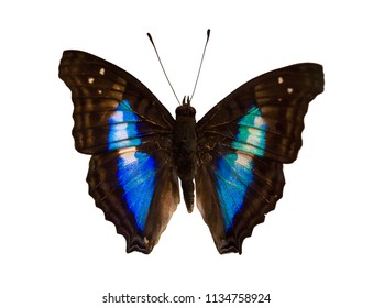 The shaded-blue leafwing butterfly, Prepona laertes or Prepona omphale, is isolated on white background. A mounted specimen.
