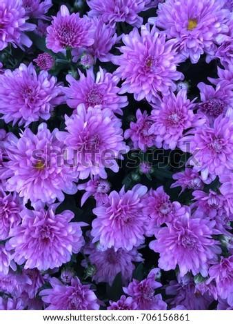 Shades Purple Flower Background Stock Photo Edit Now 706156861