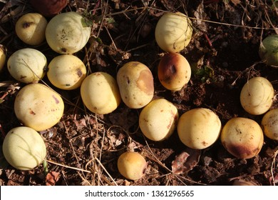 Shades of yellow, green and brown, fallen marula fruit, South Africa
