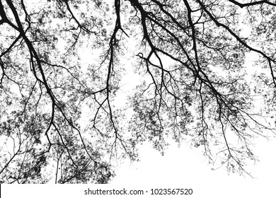 Shadow of a branch isolated on white background, Deciduous tree.
