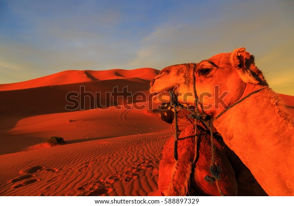 Shadow of a caravan of camels with tourist in the sand in the desert at sunset