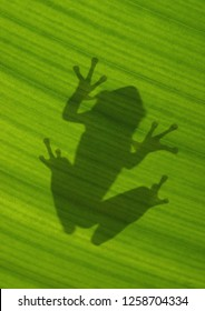 The Shadow of a Cuban Tree Frog Taken from the Backside of a Backlit Tropical Plant Leaf
