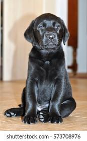 Shadow. Cute Black Labrador Pup
