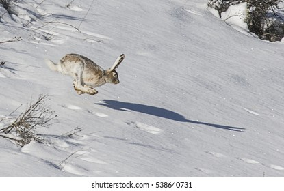 Shadow Racing - A snowshoe hare appears to be racing its shadow.