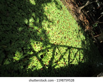 Shadow of wooden bridge and trees, projected in aquatic vegetation