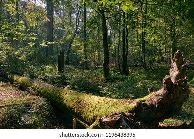 Shady deciduous stand with broken ash tree in foreground, Bialowieza Forest, Poland, Europe