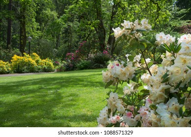 A shady park in the spring with a cluster of rhododendrons in the foreground.