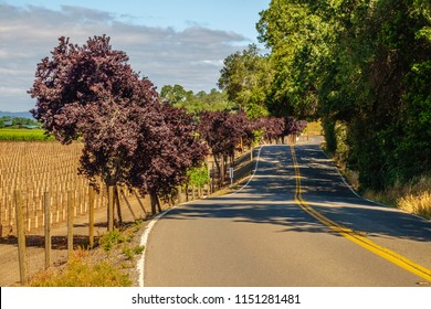 Shady stretch of two-lane rural road in wine country, Sonoma County, California, USA, for themes of travel, agritourism, serenity