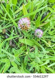 Shaftal or persian clover Trifolium resupinatum