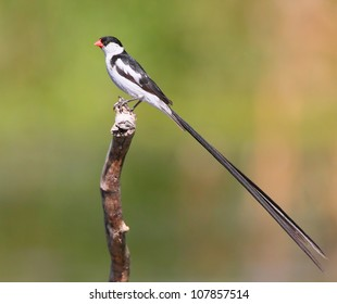 Shaft-tailed Whydah shot near Cape Town