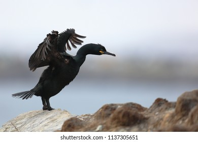Shag on Hornoya island