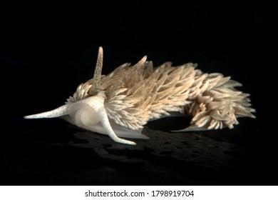 Shag Rug nudibranch, Aeolidia loui