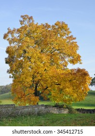 Shagbark Hickory Tree - Carya ovataAutumn Colours in Tortworth Church yard