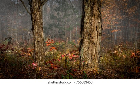 Shagbark hickory tree at morning in late autumn in Stokes State Forest, New Jersey