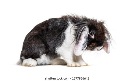 Shaggy Black and white Lop Rabbit in a bad mood, isolated on white
