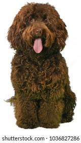 SHAGGY BROWN COCKERPOO DOG