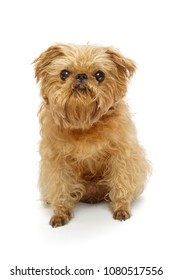 Shaggy dog breed Brussels Griffon before shearing, isolated on white