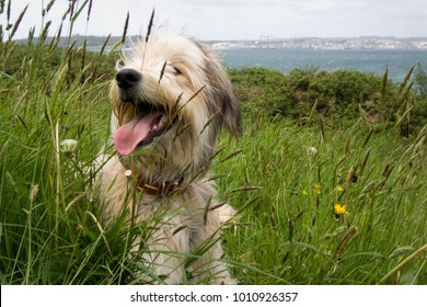 Shaggy dog resting in a grass field during a coastal counryside walk