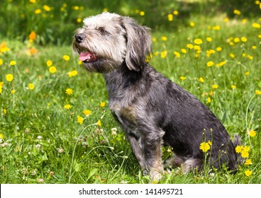 Shaggy dog sitting in a field of dandelions.