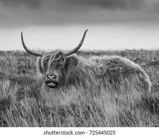Shaggy Highland cattle on Dartmoor, UK