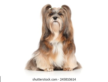 Shaggy Lhasa Apso dog. Portrait on a white background