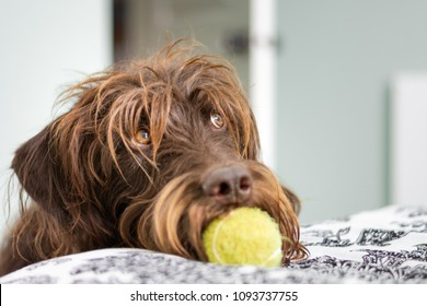 Shaggy, long haired dog with tennis ball in mouth and eyes looking up pleadingly