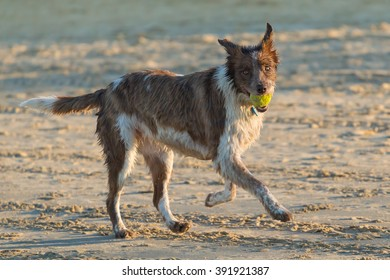 Shaggy wet brown dog playing fetch on the beach. Tennis ball in the mouth looking forward. Late afternoon.