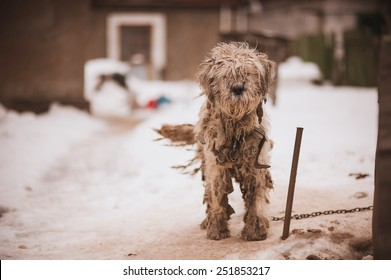 Shaggy white chained old dog  looking sad