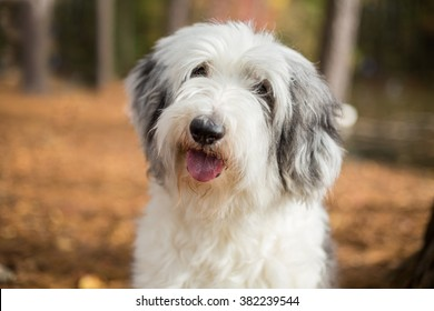 Shaggy white Old English Sheepdog dog smiles while walking in the woods
