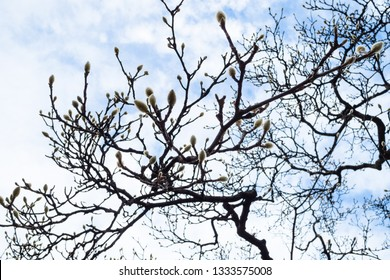 shaggy willow buds on the branches of a bare tree under evening sky with clouds in Lombardy, Italy in February