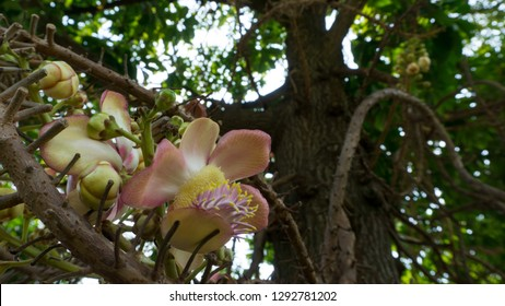 Shal, Sakhuwan, Sal Tree, Sal of India, Religiosa  Sal tree and Sala flower focus on Sal flowers And blurred the back image.