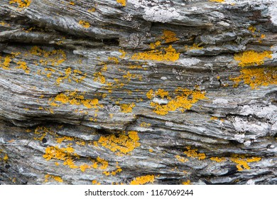 Shale rock with yellow moss spots. North Wales coast.
