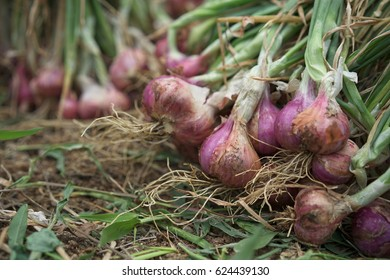Shallots from the gardeners.