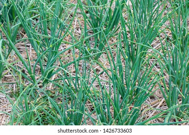 Shallots are growing in the garden, shallots need plenty of water, green shallot can add its intense flavor to a wide variety of dishes