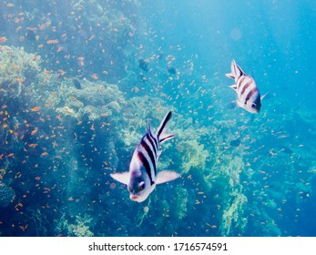 Shallow coral reef and red tropical fish. Yellow corals and swimming fish. Underwater photography from snorkeling with the marine life. Tropical seascape.