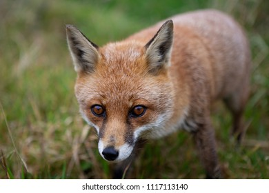 Shallow depth of field closeup view of fox in grass with head in focus and body out of focus