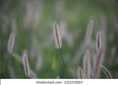 Shallow depth of field of fluffy cattails in a green grassy field