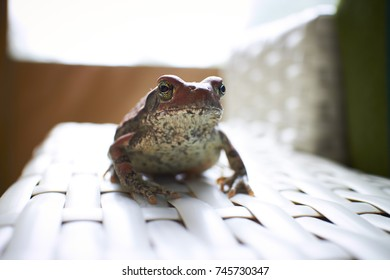 Shallow depth of field image of a frog sitting on a chair inside a holiday home with bright backlight - Focus on Eye