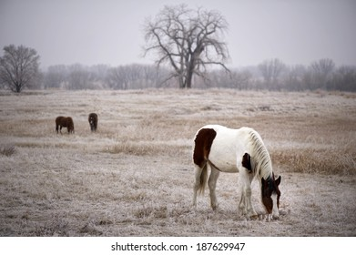 """A """"Shallow Depth of Field"""" landscape shot of an, American Paint Horse / Pinto horse, grazing in very light snow on a ranch in Colorado."""