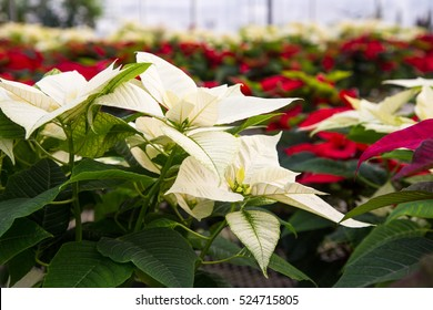 Shallow depth of field on a white poinsettia in a sea of red, white and green of Christmas poinsettias fill the greenhouse with color.