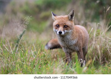 Shallow depth of field photo of Fox with head in focus and body out of focus
