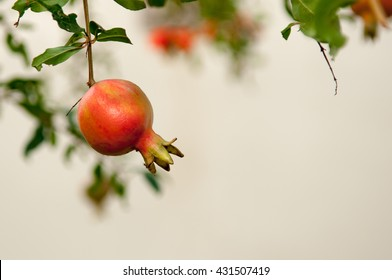 Shallow depth of field photo of ripe pomegranate fruit on tree branch