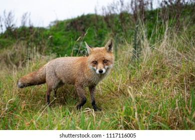 Shallow depth of field view of fox walking through field with head in focus and body slightly out of focus