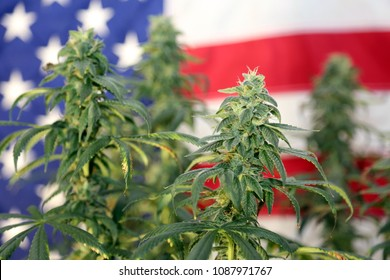 Shallow Depth of Field View of a Marijuana Plant in front of an American Flag. Female Marijuana Flowers.