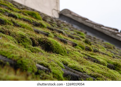Shallow focus of a build-up of moss seen on a damp, south facing cottage roof during winter. The image was taken prior to the roof being cleaned of the large colony of moss causing damp issues.