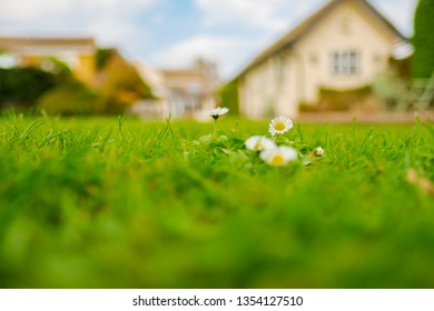 Shallow focus, ground level view of isolated Daisy flowers seen growing on a large garden lawn. The background shows an out of focus house of which the garden belongs too.