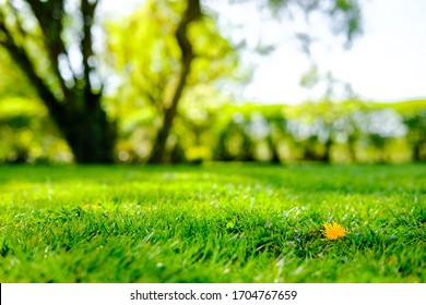 Shallow focus, ground level view of a solitary dandelion flower seen in a lush, recently mowed lawn. - Shutterstock ID 1704767659