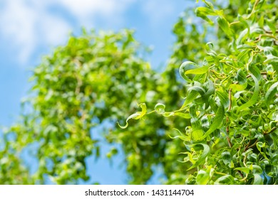 Shallow focus of a mature Willow Tree seen with fresh leaves against a blue summer sky.