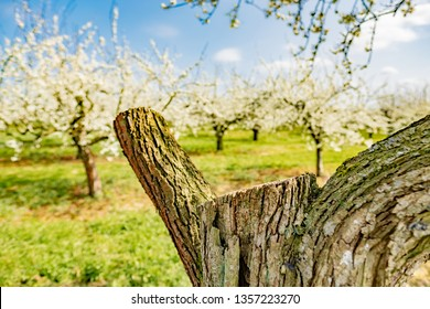 Shallow focus of a newly cut fruit tree seen in a large orchard during springtime. Part of the tree was removed due to normal pruning, to encourage new growth at the orchard.