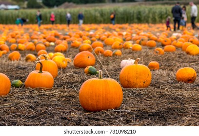 Shallow focus on pumpkin patch as families pick pumpkins for Halloween.